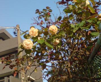 近所のバラ1.jpg
