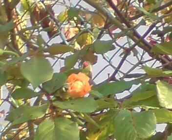 近所のバラ2.jpg